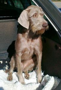 Guusje wacht rustig in de auto