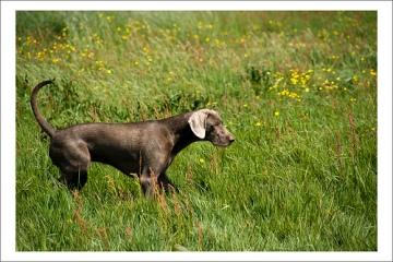 Slowaakse Ruwharige Staande Hond Lois